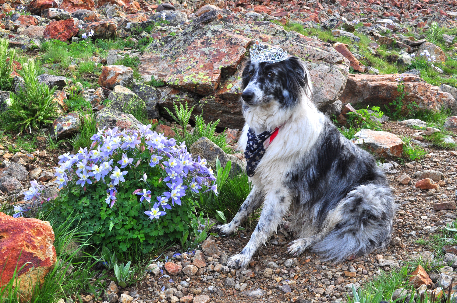 blue columbine and dog gunnison valley