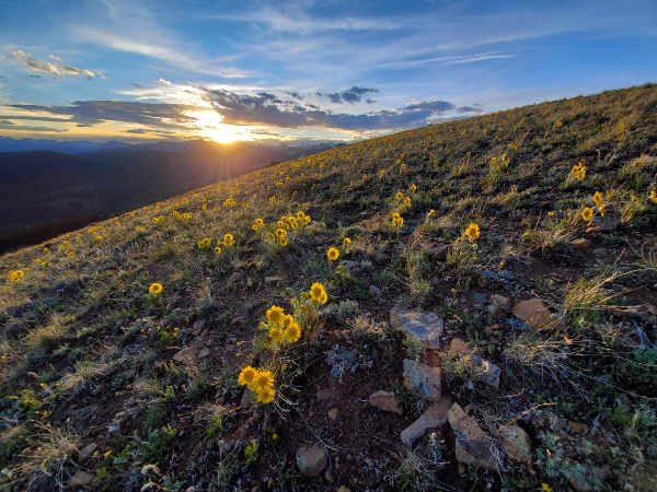 Colorado Alpine Sunflowers at sunset in Crested Butte