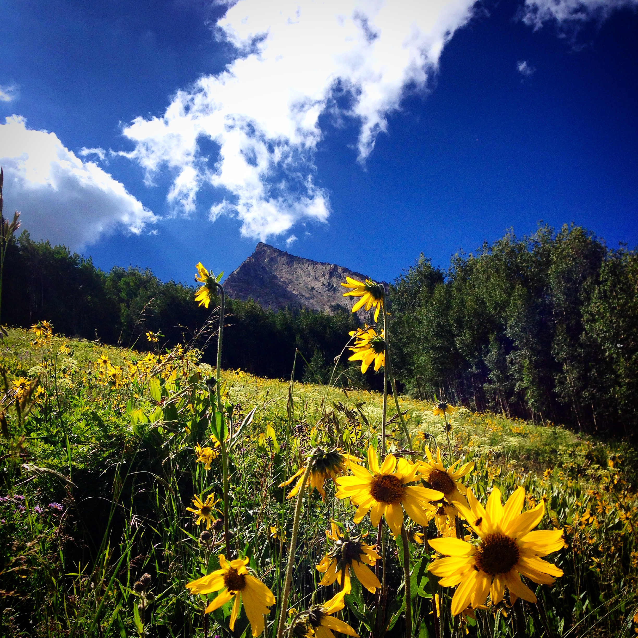 aspen sunflower on mt. crested butte