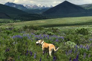 A medium-sized white dog pants in a meadow of lupine flowers in summer with snowy mountains in the background.