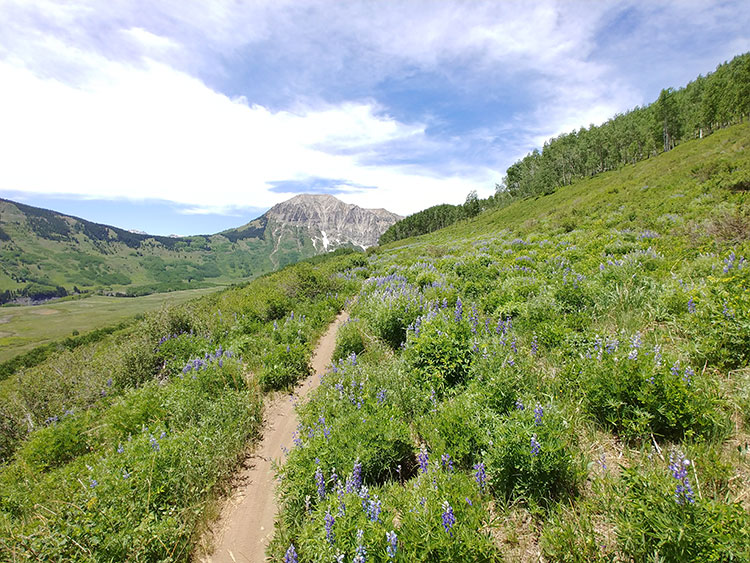 singletrack trail leading through a field of lupine to Gothic Mountain near Crested Butte