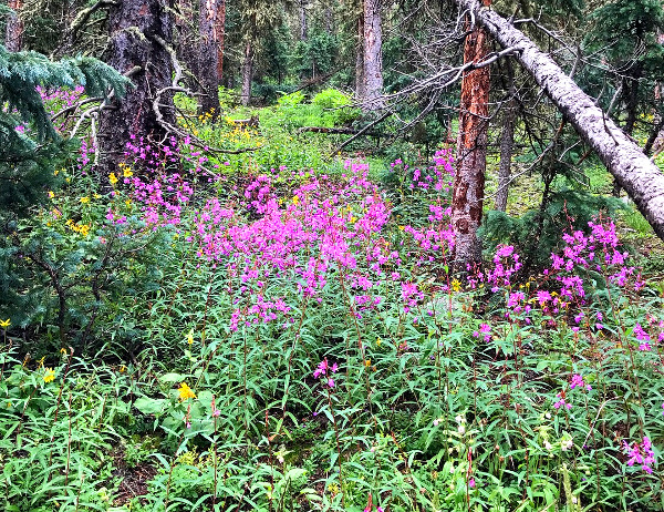 Wild Colorado Fireweed in the forest around Gunnison