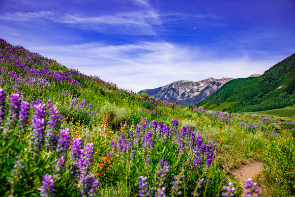 lupine trail with lupines in full bloom