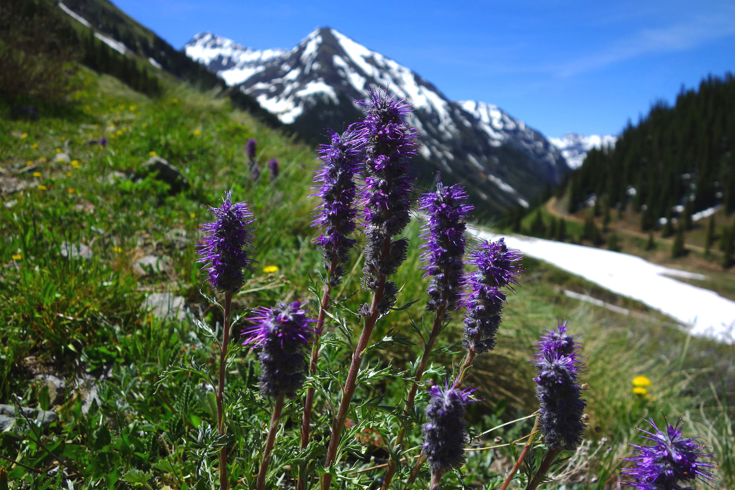 purple fringe flower