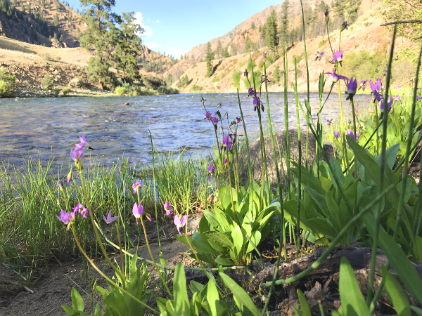 Crested Butte wildflowers Shooting Stars next to river