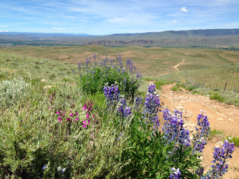lupines on signal