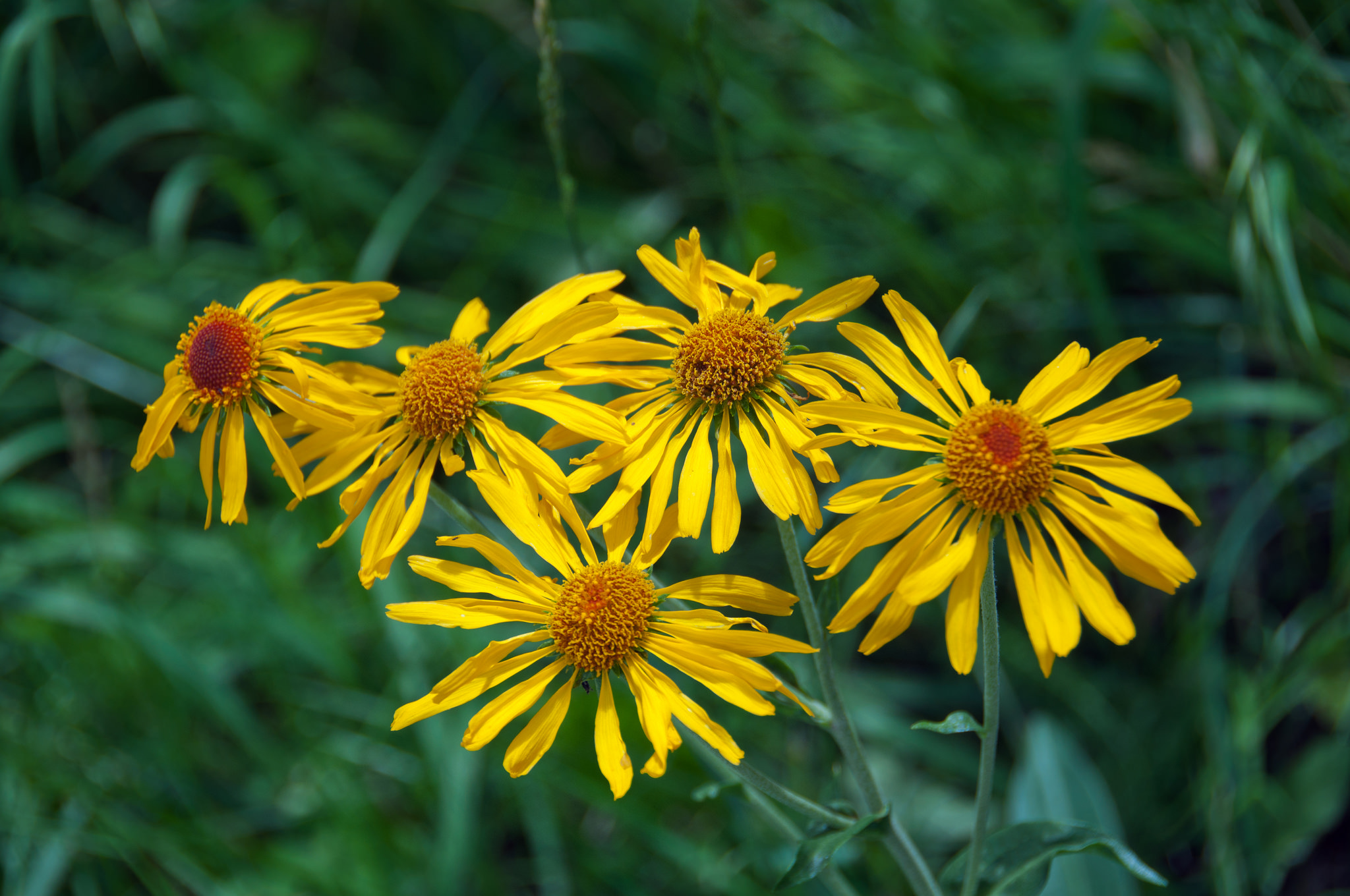 sneezeweed, owls claws